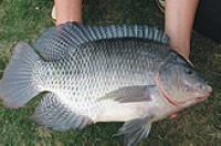 罗非鱼每日价格播报