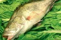 鳜鱼每日价格播报