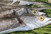 带鱼每日价格播报