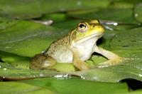 牛蛙每日价格播报