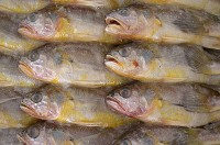 黄鱼每日价格播报