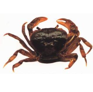 锯齿华溪蟹
