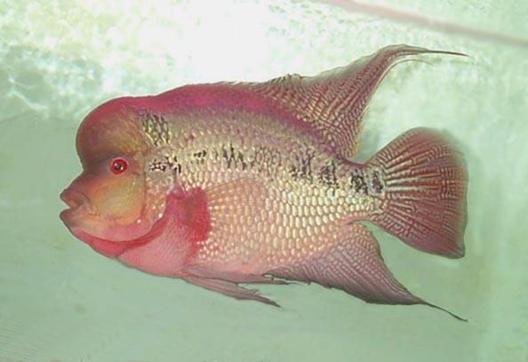 罗汉鱼的繁殖
