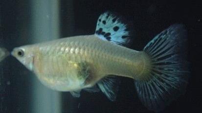 分辨母孔雀鱼的繁殖期即将产仔特征