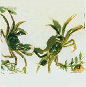 中华绒螫蟹
