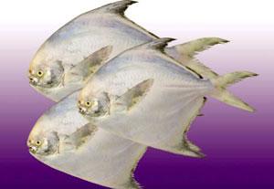 平鱼每日价格播报