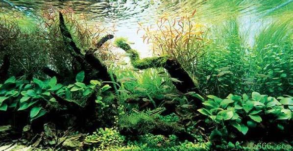沉木造景水草缸 二