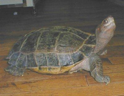 马来西亚巨龟人工养殖技术