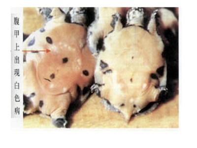 甲鱼养殖之白点病与白斑病的防治