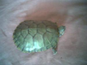 巴西龟无公害养殖技术
