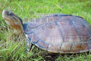 四眼斑水龟的生态养殖