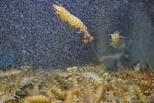 刀额新对虾养殖技术