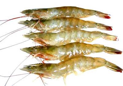 基围虾的介绍