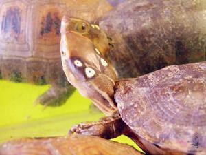 四眼斑龟-繁殖技术
