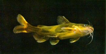 谈谈黄颡鱼的钓法