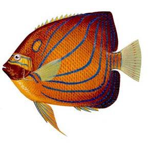 肩环刺盖鱼