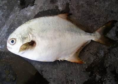 金鲳鱼网箱养殖技术推介