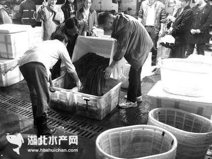 湖南长沙:多种因素导致千赢电子游戏平台市场黄鳝价格贵得离谱