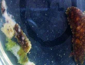 海参化皮病症状病因分析及防治技术介绍