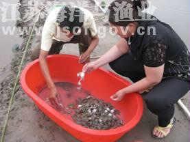 地笼捕捉梭子蟹