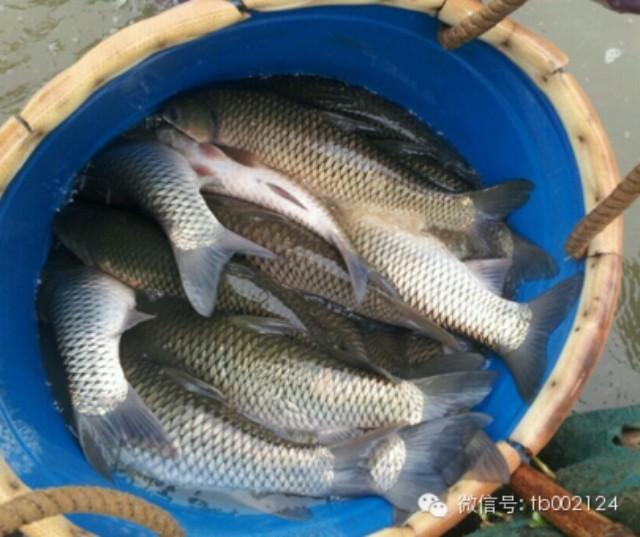 天邦膨化草鱼料包料产鱼38斤每月能长1斤多!