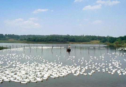 安徽巢湖市烔炀镇实施生态养殖发展绿色农业