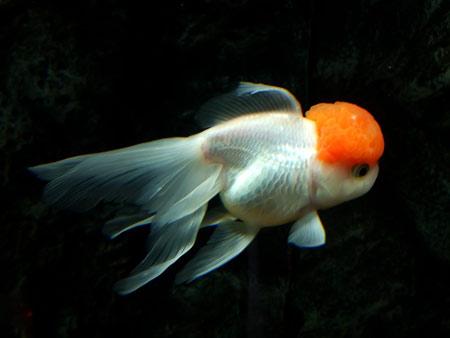 鱼头瘤上白点的危害