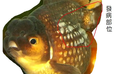 初春观赏鱼常见疾病的防治
