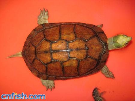 黄喉拟水龟苗的饲养_关于黄喉拟水龟的三个品系及辨别_观赏鱼综合_湖北水产网