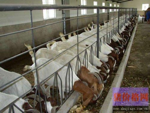 波尔山羊养殖的舍饲管理要点