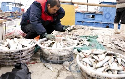 渤海湾鱼肥虾美  天津滨海新区渔船满载归