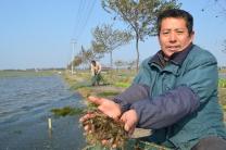 南京高淳桠溪水草田里套养青虾喜上市
