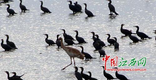 """野生鸬鹚来做客 万亩湖泊变""""食堂"""""""