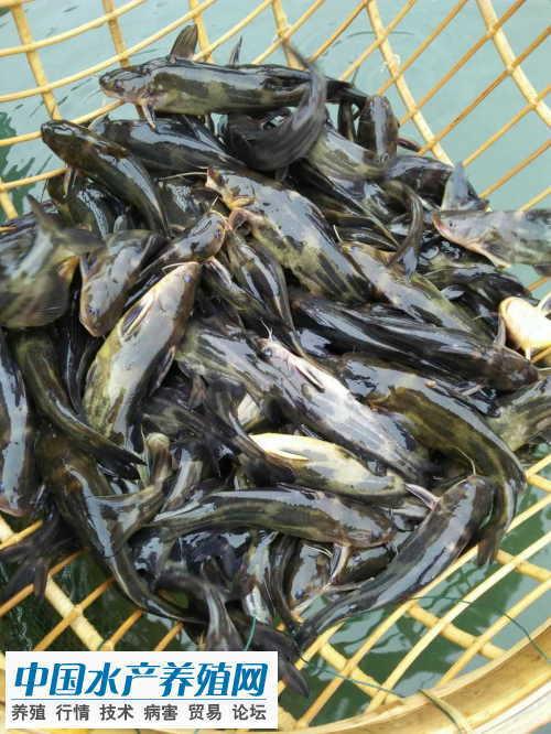黄颡鱼价格持续上涨刺激养殖户神经 近期降温须防好病