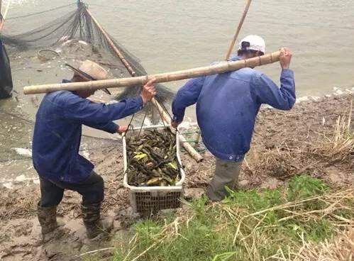 2015黄颡鱼行情低迷,湖州养殖户深耕细作用好料逆势上袭