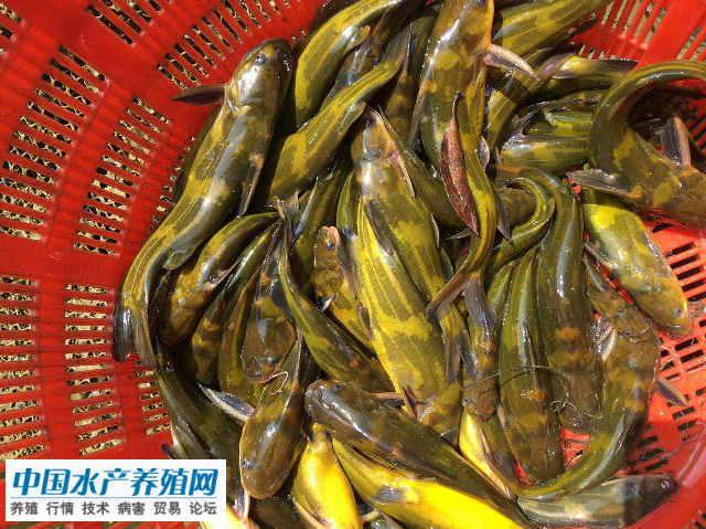 春节期间黄颡鱼供需两旺价格走高 节后仍有上涨空间