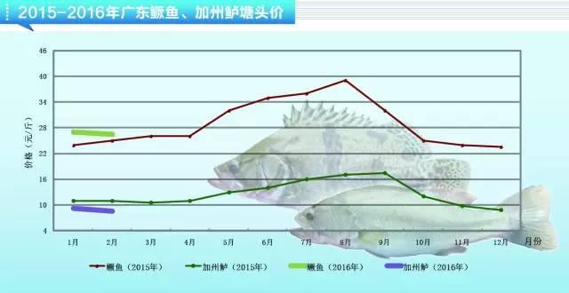 鳜鱼养殖户出鱼积极性不高,加州鲈价格或将持续走低