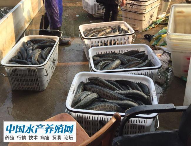 市场销量有限 黑鱼价格上涨势头受阻