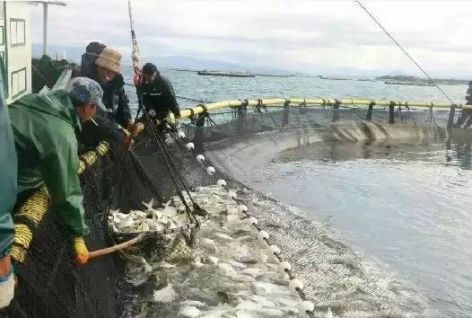湖南临高后水湾大量越冬鱼终上市完毕 后市金鲳鱼价格或上涨