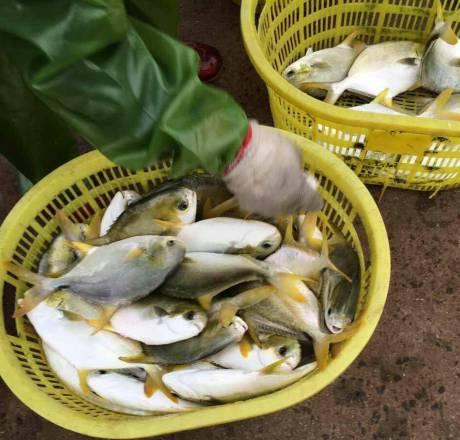 寒潮过后金鲳鱼存排量仍巨大 鱼价环比上涨同比下降