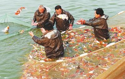 河南南阳镇平县金鱼养殖面积近两万亩 畅销海外市场