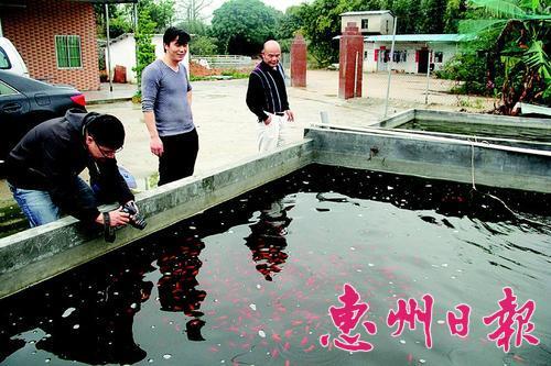 广东惠州惠阳区:秋长周田村观赏鱼游得欢