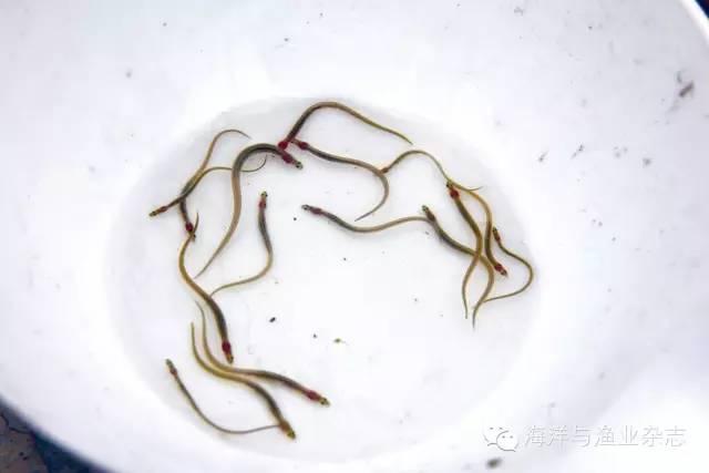 【品种推荐】美洲鳗鲡苗价不高 养殖市场潜力大