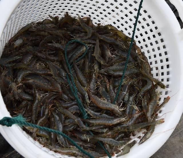 """120亩冬棚虾获纯利600万 浓缩卵囊藻全程""""护航""""健康养殖"""
