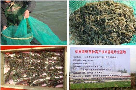 江苏苏州相城区积极开展青虾苗种高产技术研究工作