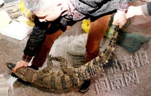 两条鳄鱼被扔福建晋江美林寺里 这是放生?
