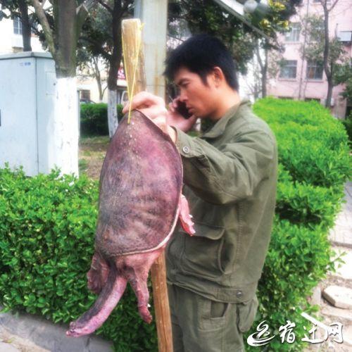 """外地人在江苏宿迁叫卖""""野生""""甲鱼 小伙伴们切勿上当"""