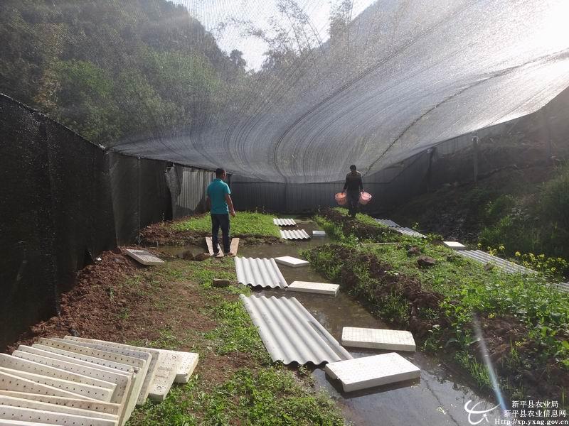 云南玉溪市新平县开展仿生态石蛙养殖试验