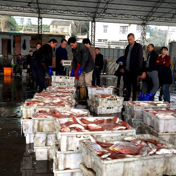 浙江台州玉环县真鲷丰收 海洋渔业资源呈现复苏迹象