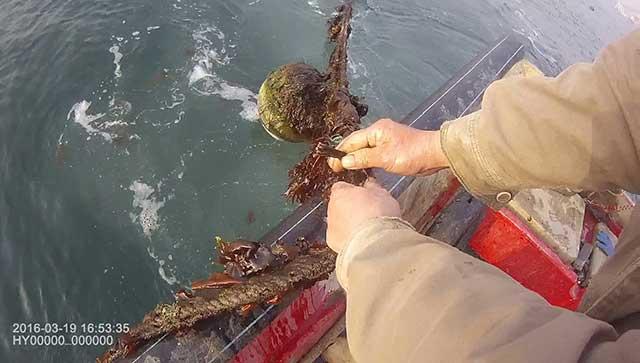 山东青岛一邻居养的海蛎子又大又肥 男子眼红偷了一千多斤
